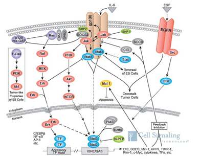 Cancer and stat 3, stat 3, stat 3 inhibitors, stat and cancer