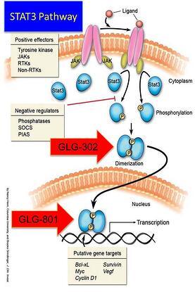 STAT3 Inhibitor, STAT3, GLG Pharma, GLG-801, GLG-302